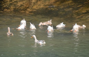 Ducks bobbing in the water