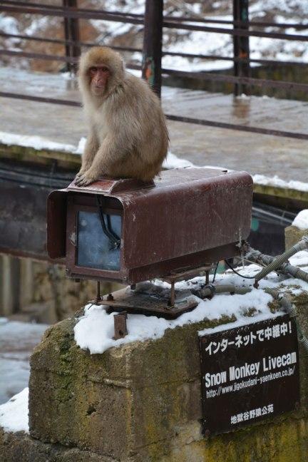 Nagano snow monkey