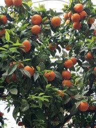 Valencia oranges!
