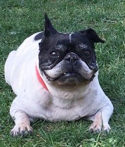 Lulu, mean French dog