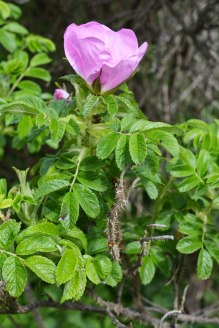 roses and thorns outside Briar Rose's castle (Sleeping Beauty)
