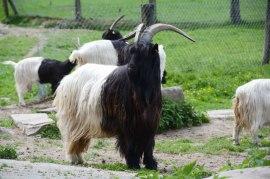 Valais blackneck goats