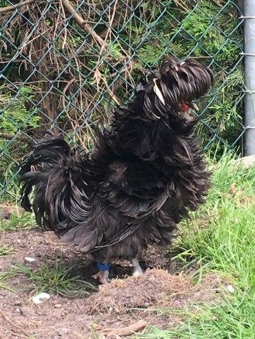 crazy chicken, near Zaanse Schans