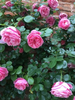 rose bush in Leonardo's Clos Lucé