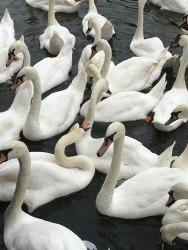 mean swans, Stratford-upon-Avon