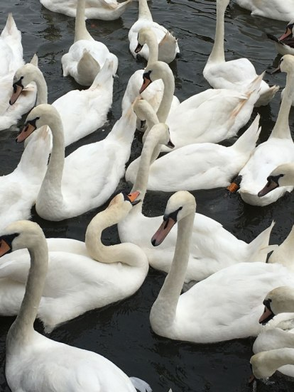 mean swans, Stratford-upon-Avon