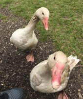 aggressive geese, Mary Arden's farm (Shakespeare's mother), Stratford-upon-Avon