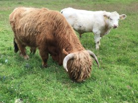 Highland cow and regular cow